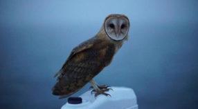 Barn owl on R/V Western Flyer.