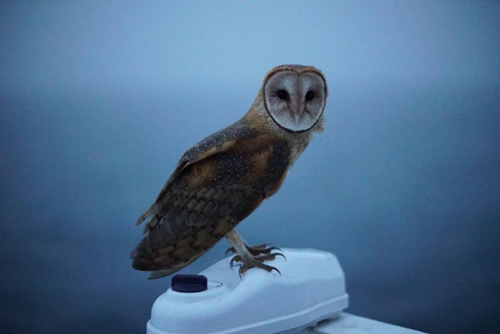 Barn owl on R/V Western Flyer.