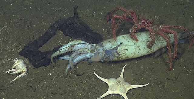 A squid graveyard and a deep-sea buffet | MBARI