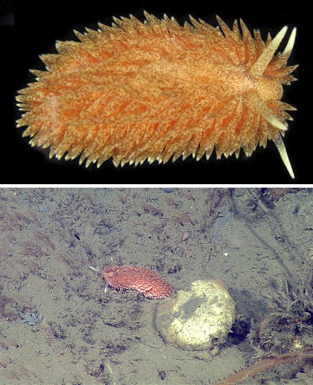 L'image du Jour : Nouvelle espèce de nudibranche découverte (Vidéo) By Jack35 A-libitinaria-labfield-640