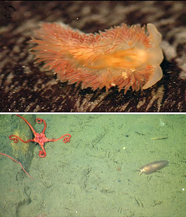 L'image du Jour : Nouvelle espèce de nudibranche découverte (Vidéo) By Jack35 Z-vrijenhoeki-labfield-640